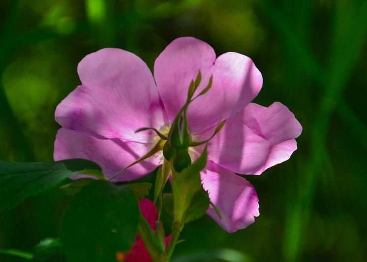 Barb Klie - wild-rose