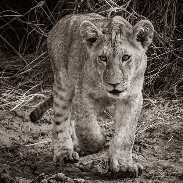 Brian-Mitchell-Cautious-Lion-Cub