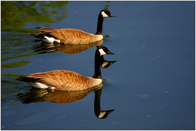 Christine-Overland-Canadian-Geese-Reflection