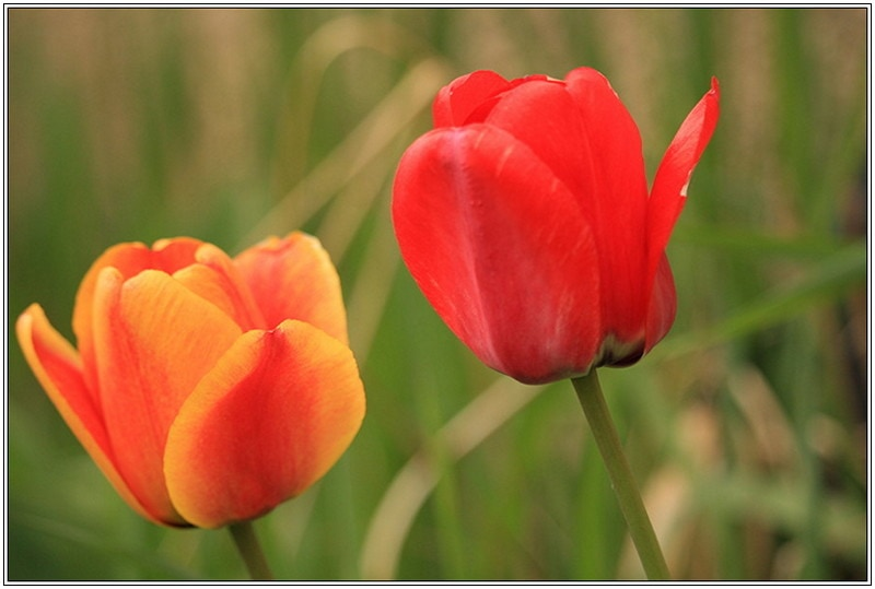 Christine-Overland-Tulips-Spring-Time