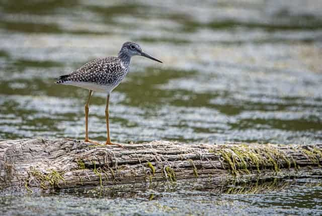 Dave-Whiting-Greater-Yellowlegs