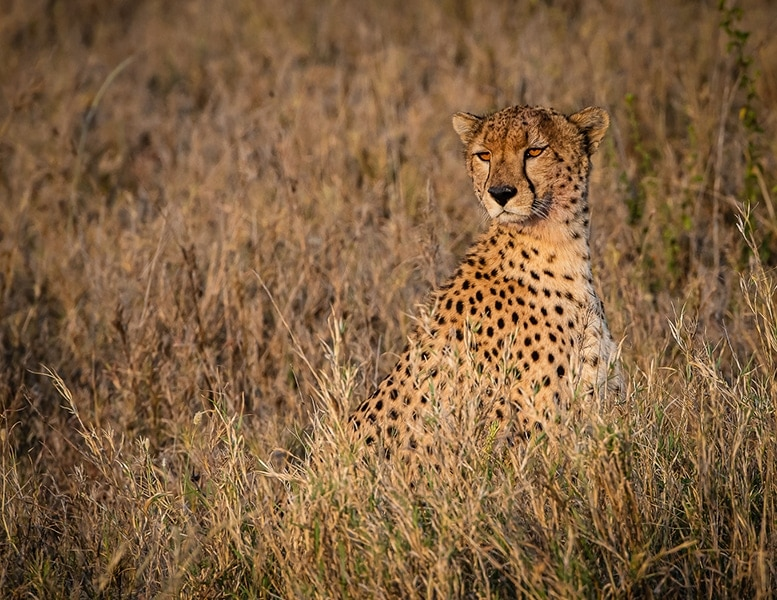 Young-Cheetah-on-the-Lookout_Brian-Mitchell