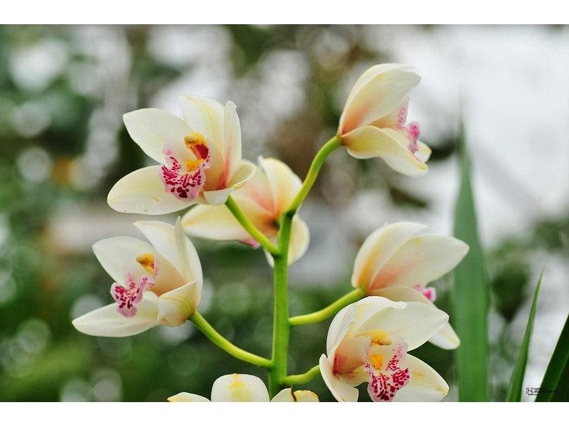 Robert-Nowland-Orchids