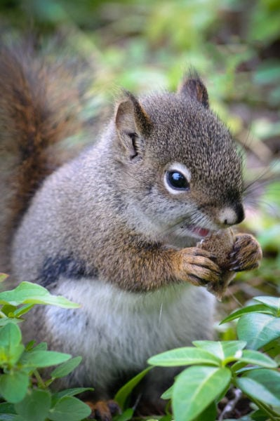 David-Williams-6-Squirrel-Eating-Polypore-Mushroom