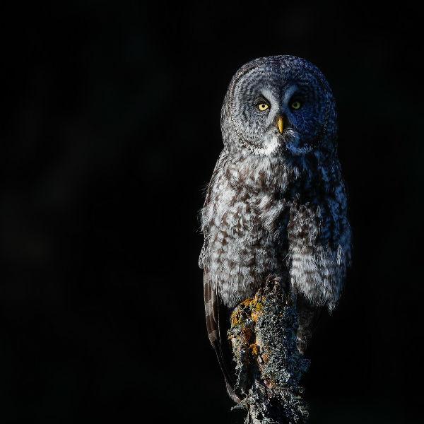 Norm-Dougan-5-Great-Grey-Owl