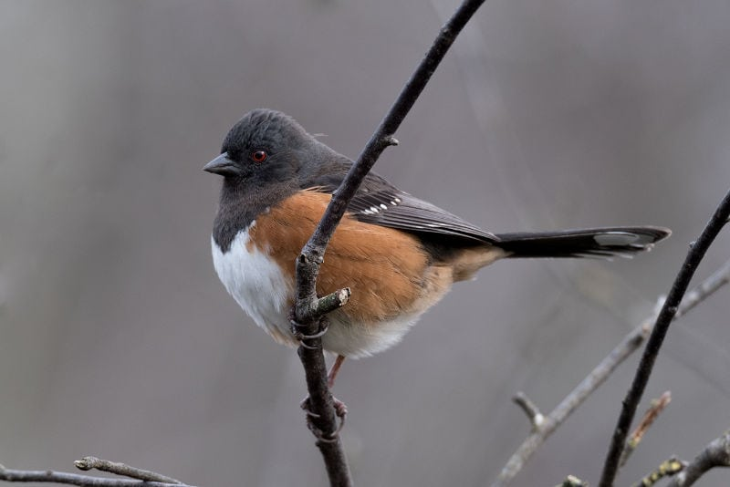 Terry-Conroy-Spotted-Towhee