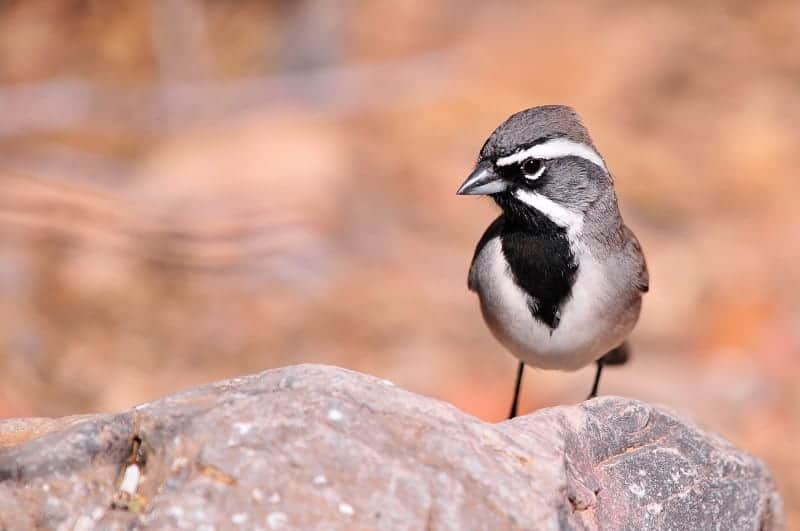 Dave Whiting - Black Throated Sparrow