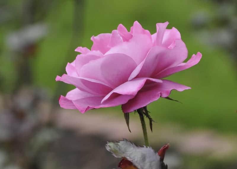 Lana Moshuk - Pink Perfection