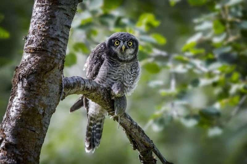 Norm Dougan - Hungry Juvinile Hawk Owl