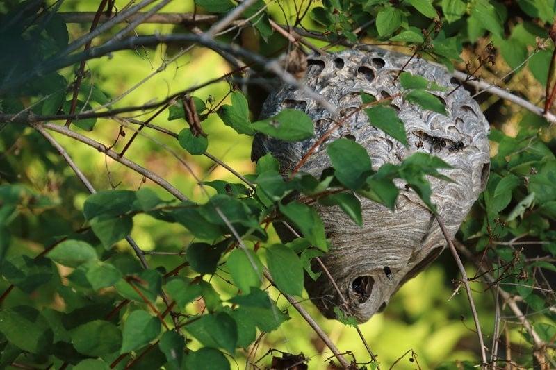 Isobel-Lamarche-5-Hornets-Nest