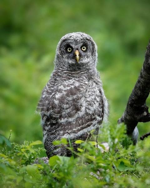 Norm-Dougan-Juvenile-Great-Grey-Owl