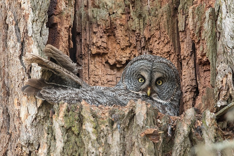Terry-Conroy-Great-Gray-Owl-Nest