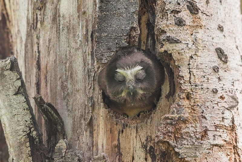 Terry-Conroy-Northern-Saw-whet-Owl-Nest