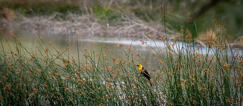 Rick-McCutcheon-9-Yellow-headed-Blackbird