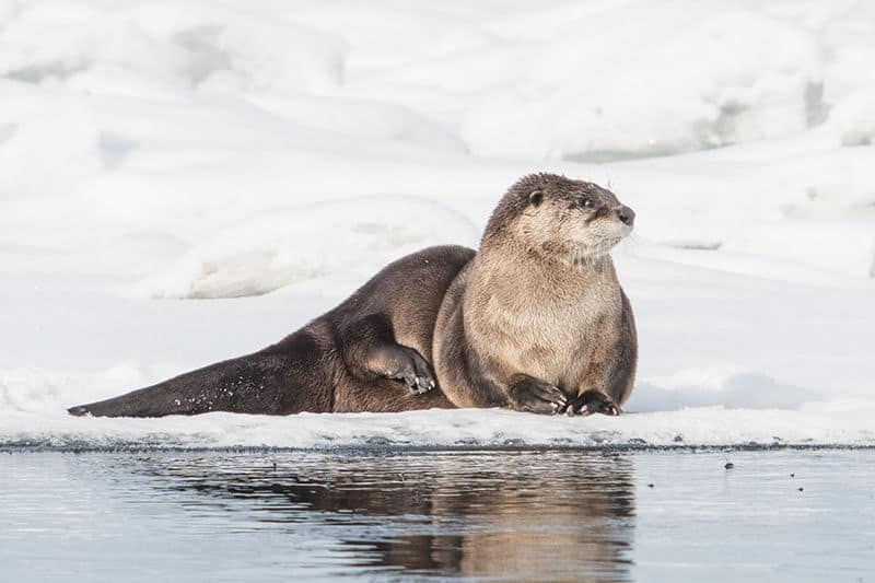 Terry-Conroy-River-Otter