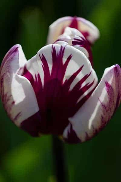 Angelina-Brooymans-Tulip