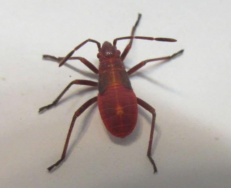 Joe-Warman-Maple-Bug