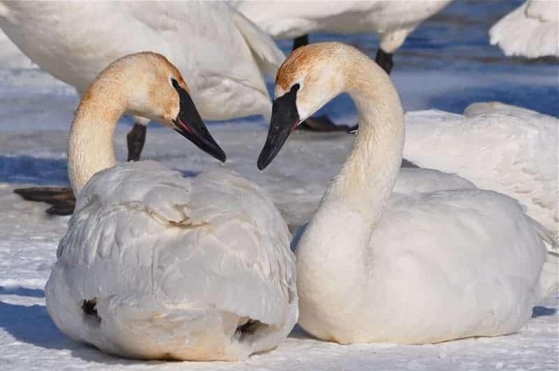 Barb Klie - Swan romance #1
