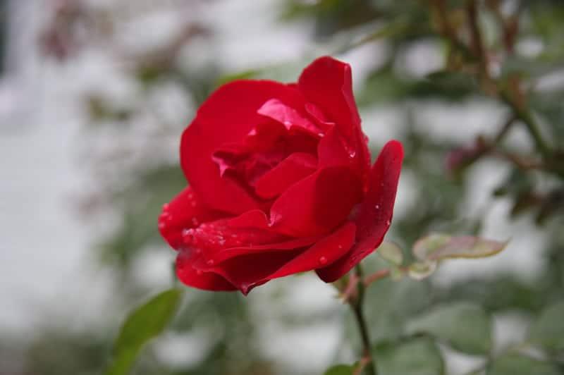 Bryan Hunt - 2 A Red Rose