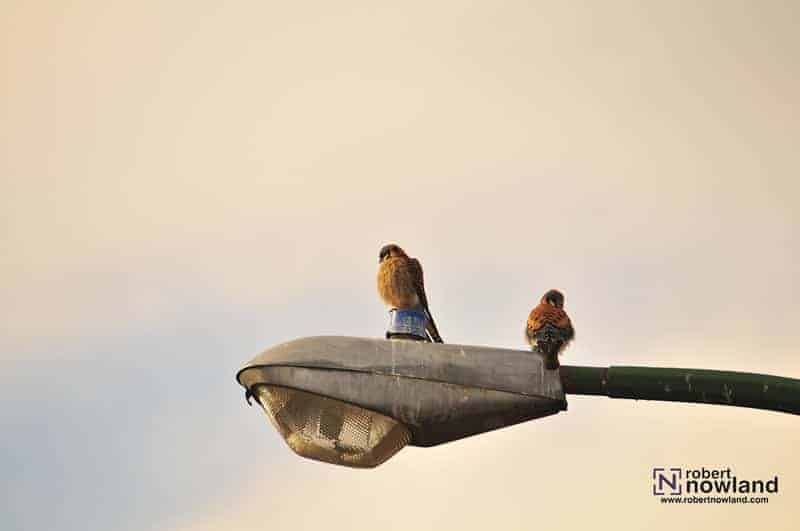 Robert Nowland - Kestral couple