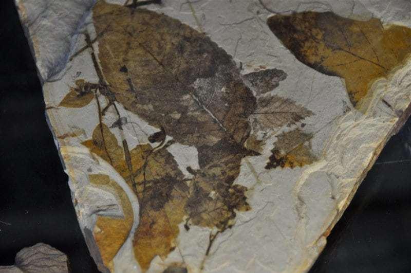 Barb Klie - 4 McAbee Fossil