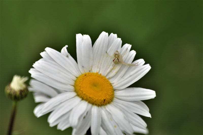 Greg Soloway - 5 White Spider Whiter Flower.
