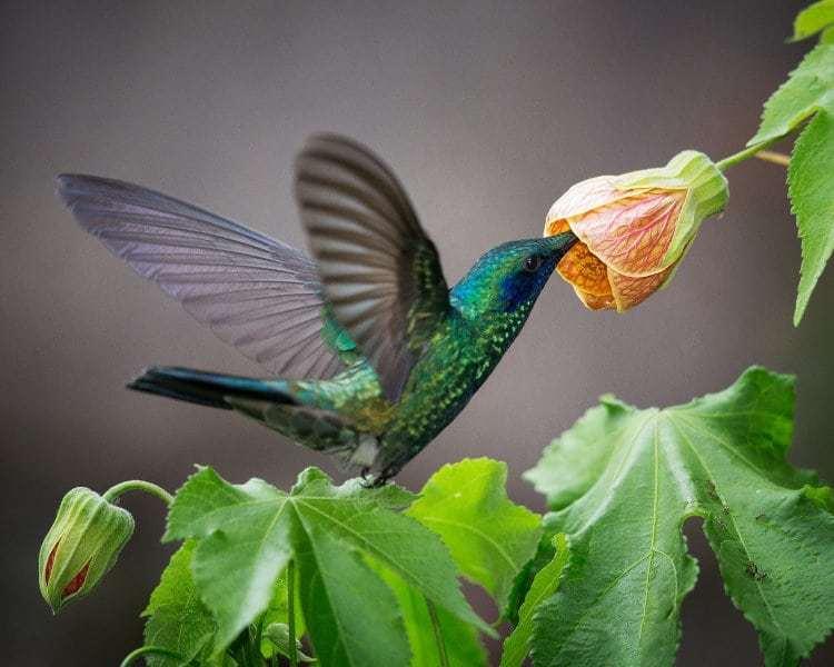 Norm Dougan - 2 Green Violet-Ear Hummingbird