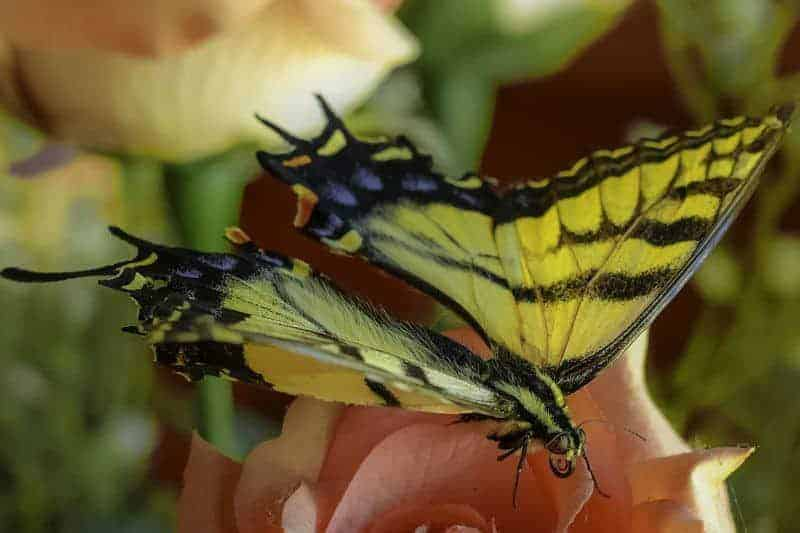 Doug Clemis - Tiger Swallowtail Butterfly