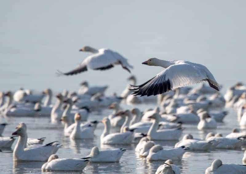 Dave Whiting - Snow Geese
