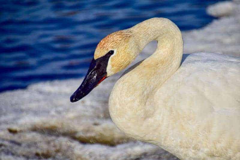 Doug Clemis - Goose Face