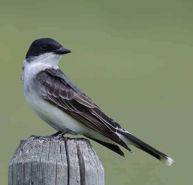 Isobel Lamarche - Eastern Kingbird Sitting Pretty