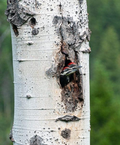 Angelina-Brooymans-Pileated-Chicks