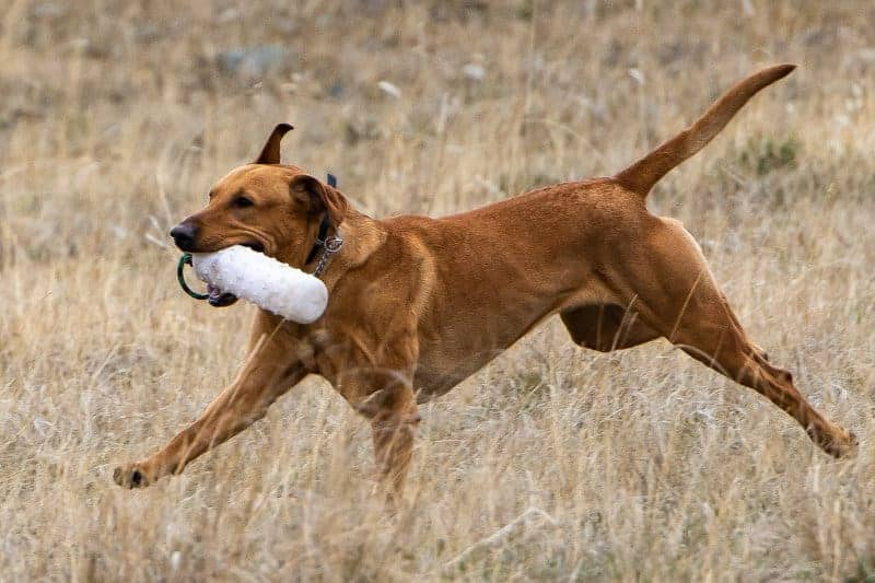 Brian-Mitchell-3-Labrador-Retriever-In-Training