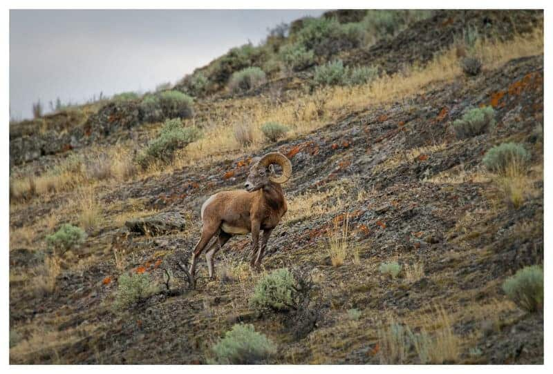 Rick-McCutcheon-3-Bighorn-Sheep