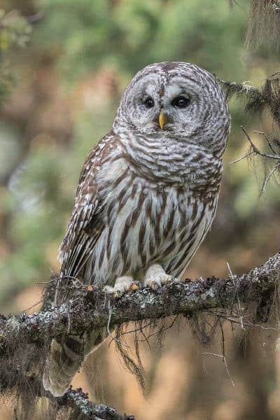 Terry-Conroy-Barred-Owl