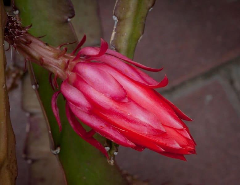 Val-Rampone-Cactus-bud
