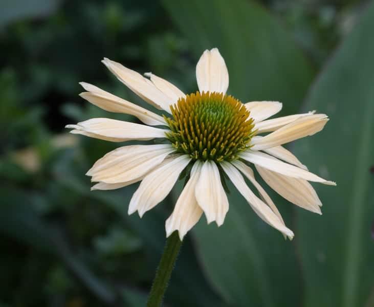Val-Rampone-Double-petal-beauty