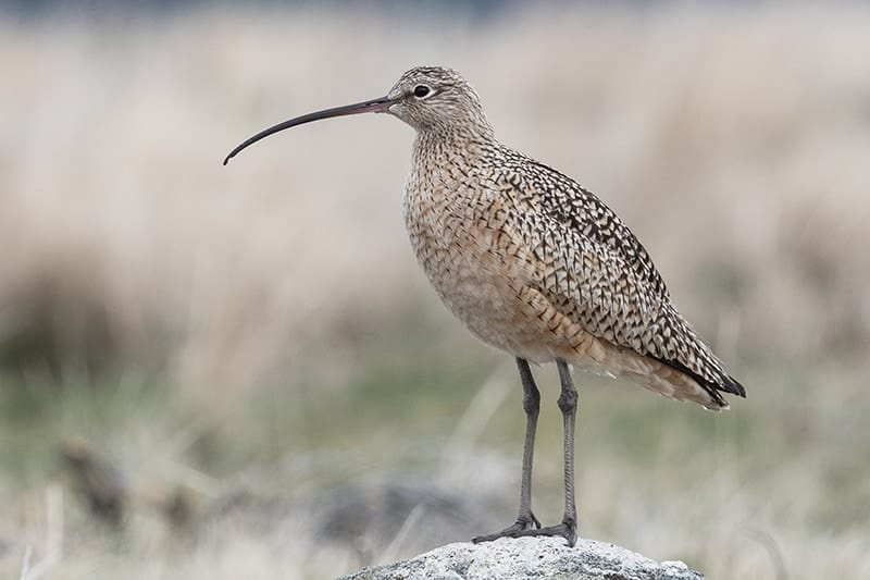 Terry-Conroy-17-Long-billed-Curlew