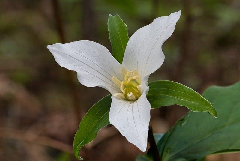 Terry-Conroy-18-Western-White-Trillium