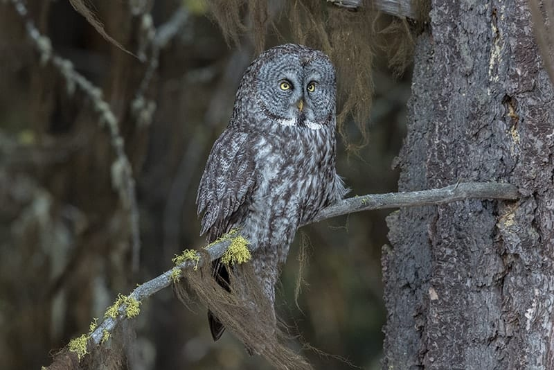 Terry-Conroy-22-Great-Gray-Owl