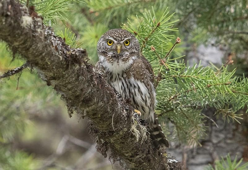 Terry-Conroy-23-Northern-Pygmy-Owl