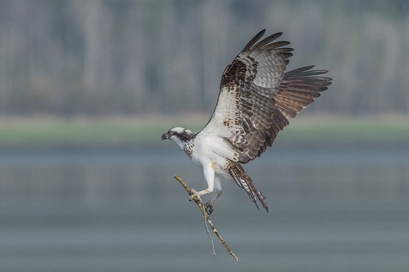 Terry-Conroy-25-Osprey-with-Nesting-Material
