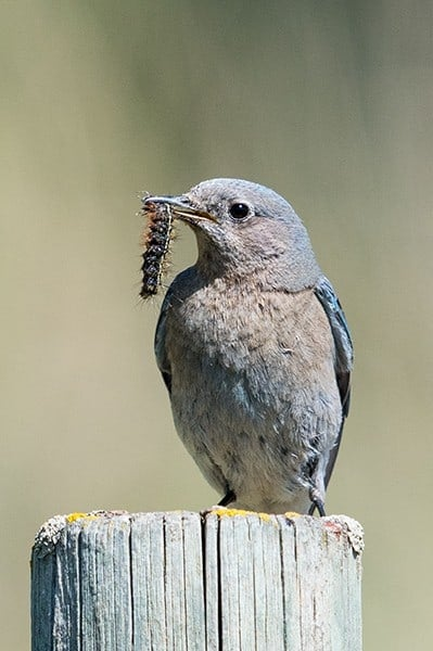Terry-Conroy-26-Female-Mountain-Bluebird