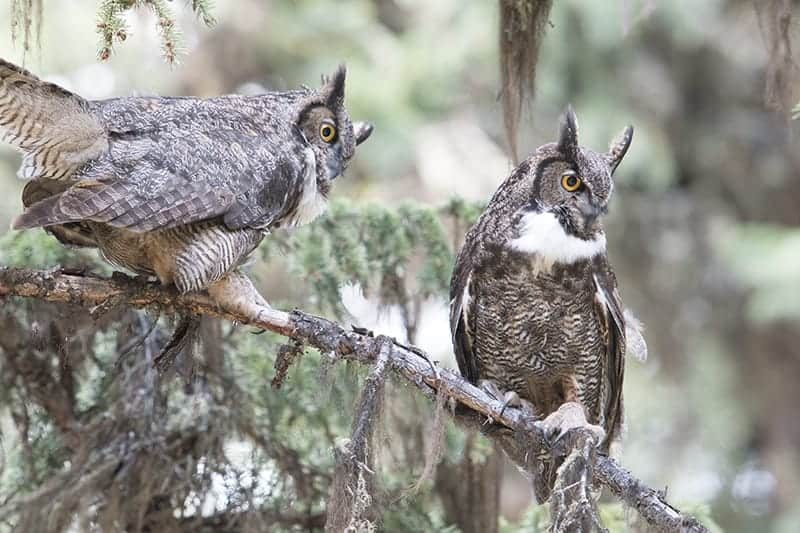 Terry-Conroy-28-Great-Horned-Owl-Pair