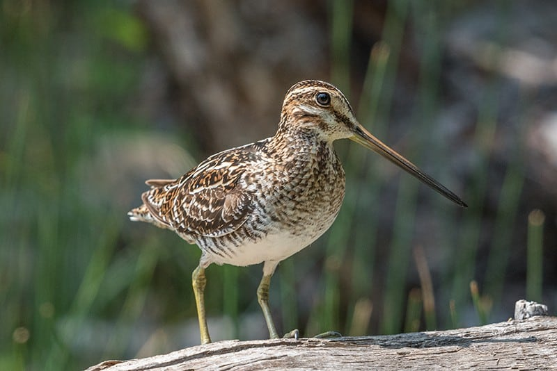 Terry-Conroy-30-Common-Snipe