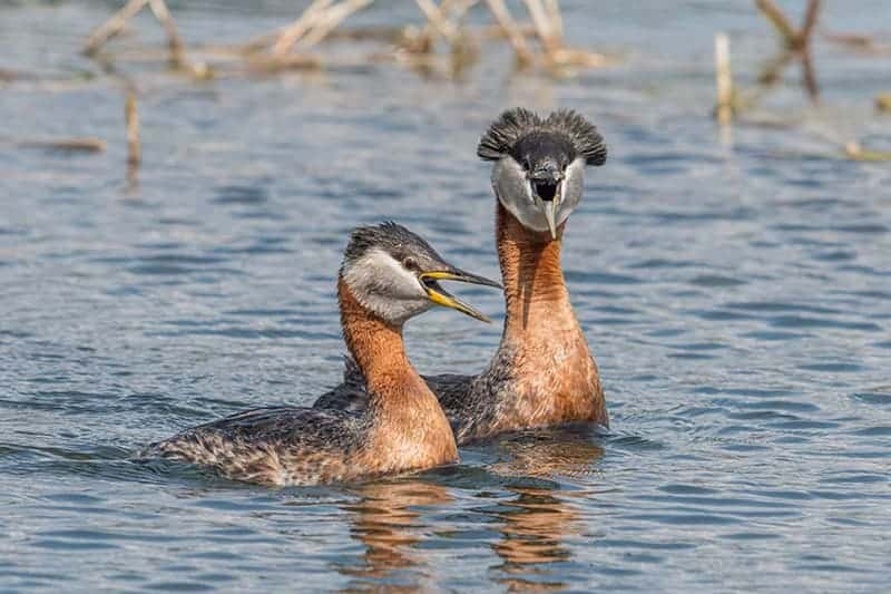 Terry-Conroy-32-Red-necked-Grebe-Pair