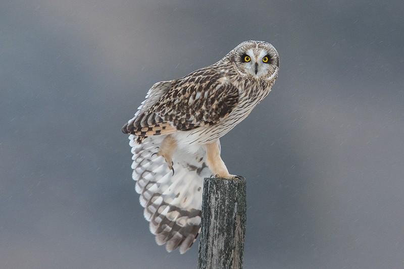Terry-Conroy-4-Short-eared-Owl-Flexing